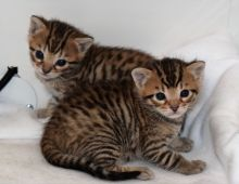 Friendly males and female Bengal Kittens seeking new homes
