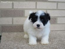 Exceptional Havanese Girl is Available For Adoption