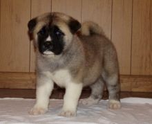 home raised akita puppies for sale