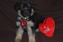ckc Registered German Shepherd Puppies Available For Sale