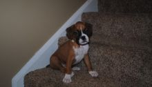 Healthy Boxer Puppies for A Good Home