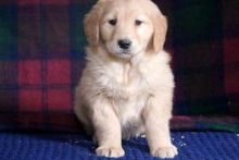 Splendid golden retriever puppies