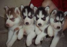 Cute and loving Siberian Husky puppies for adoption