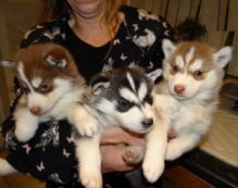 Cute Siberian Husky puppies for adoption