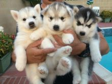 Cute Siberian Husky Puppies (Male and Female)..Home raised Black and white Siberian Husky puppies