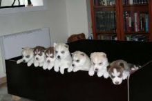 cute Siberian husky puppy text me at (857) 997-2431