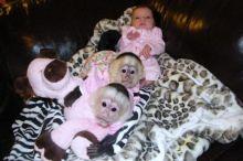Healthy Capuchin Monkeys For Adoption