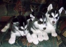 Male and female white Siberian husky puppies ready now to go