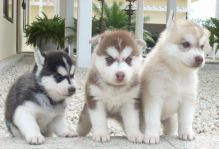 Siberian Husky puppies text (857) 997-2431
