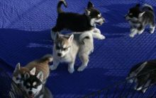 Absolutely stunning litter of pure bred Siberian husky puppies Image eClassifieds4U