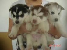 Beautiful Siberian Husky puppies Image eClassifieds4U