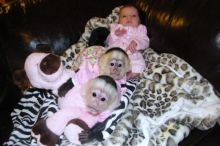 Healthy Capuchin Monkeys For Adoption Image eClassifieds4U