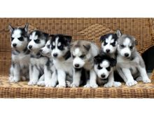 Male and female Siberian Husky pups Image eClassifieds4U