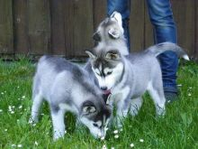 Siberian husky puppies Image eClassifieds4U