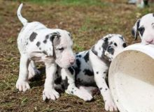 AKC Female and Male Great Dane puppies for sale