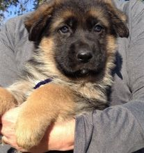 Fabulous German Shepherd puppies for lovely kids and families