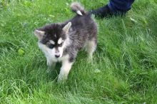 Healthy Alaskan Malamute Puppies