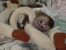 4 Months Old Female pet Monkey