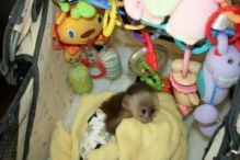 Adorable Capuchin monkey registered female Text (819) 412-1240