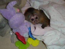 fantastic capuchin monkeys for adoption