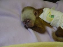 Female Adorable baby Monkey contact (819) 412-1240