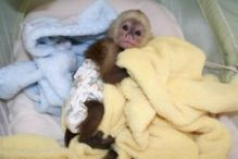 Outstanding Capuchin Monkey Text (819) 412-1240
