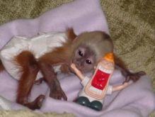 socialized baby female CAPUCHIN monkey Text (819) 412-1240