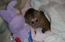 Splendid Capuchin Monkeys for Re-homing Text (819) 412-1240