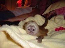 Outstanding Capuchin Monkey Text (819) 412-1240 Image eClassifieds4u 2