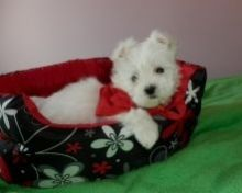 Needing A Great Home Urgently!! Angelic Maltese Pup!!
