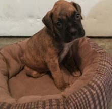 Fawn Boxer puppies for Re-Homing