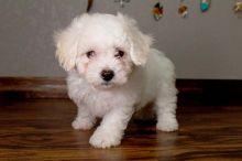 my bichon sweet puppy for sale