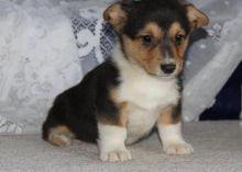 two Corgi puppies for adoption