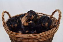 black and tan male mini dachshund puppies for adoption