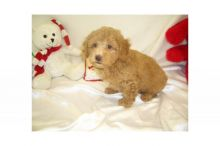 WE HAVE ADORABLE POODLE TOY PUPPIES