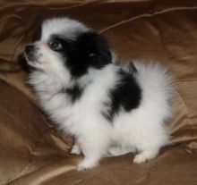 Adorable Pomeranian Puppy Image eClassifieds4U