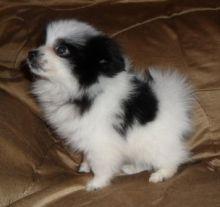 Adorable Pomeranian Puppy Image eClassifieds4U