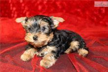 Amazing Yorkshire terrier Pups For Re - Homing Text peter_t36@outlook.com ( 204-813-126 )