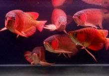 Premium High Goldenred arowana fish for sale