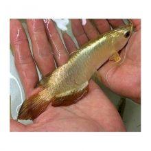 Live arowana fish moncton eclassifieds 4u for Arowana fish for sale online
