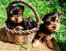 CKC Yorkshire Terrier Puppy