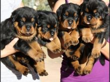 Stunning and tan Rottweiler puppies ready for adoption