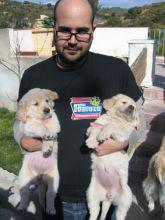 Wonderful Golden Retriever puppies text us (701) 369-3015
