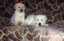 Companion Labrador retriever Puppies for homes text (205) 598-5317