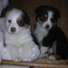 Adorable Australian Shepherd puppies