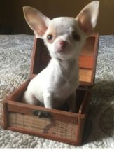 Charming Teacup Chihuahua Puppies Available
