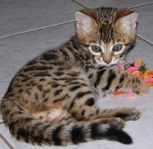 CCA registered bengal kittens for adoption