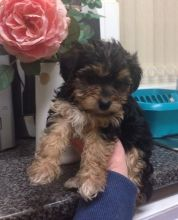 Cute Yorkie Puppy for Adoption