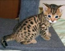 Only 2 Left! Gold & Silver Bengal X Kittens!