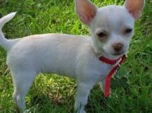 Male and Female Chihuahua Puppies Male and Female Chihuahua Puppies